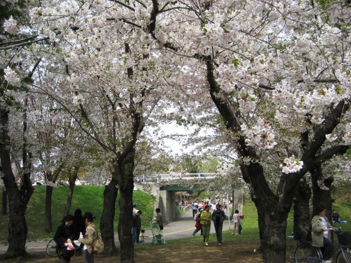 北海道札幌市琴似付近にある農試公園に満開の桜を花見に来ている人たちの様子
