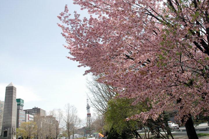 北海道札幌市の大通公園で桜が満開に咲いている様子
