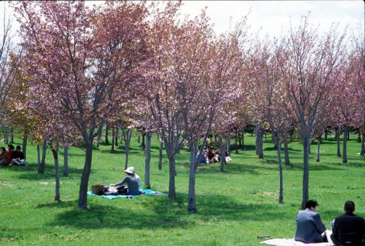 北海道札幌市で人気「モエレ沼公園」内のサクラの森で桜のお花見をしている様子