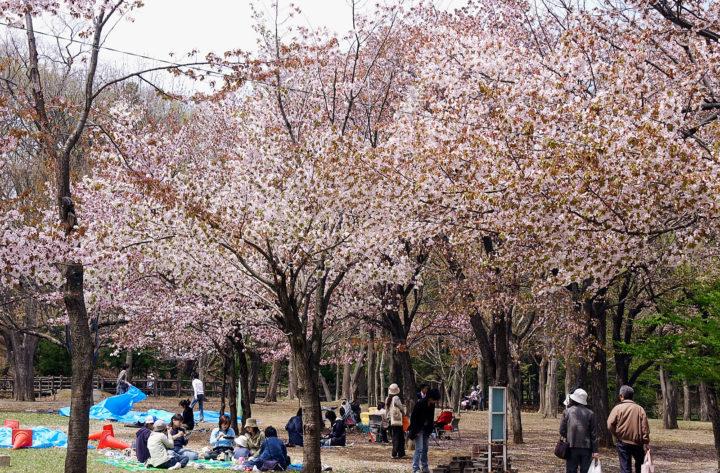 北海道札幌市にある桜で有名な円山公園でお花見宴会をしている人たちの様子
