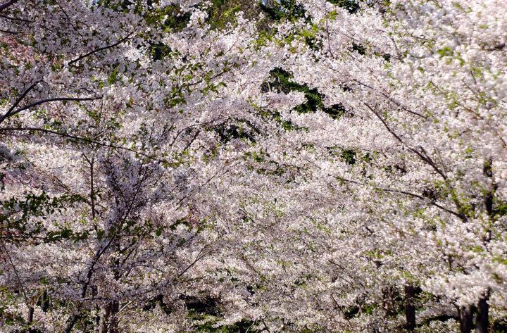 北海道札幌市にある北海道神宮の桜が一面に咲き誇る様子