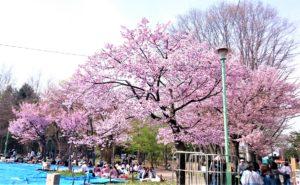 北海道札幌市の円山公園の桜の写真