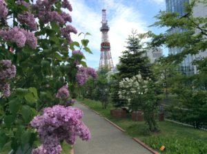 北海道札幌市の創成川公園に咲くライラックの花の写真