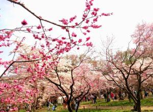 北海道札幌市の北海道神宮に咲く桜と梅のコラボレーション写真