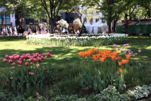 北海道札幌市の大通公園に咲くチューリップの花の写真