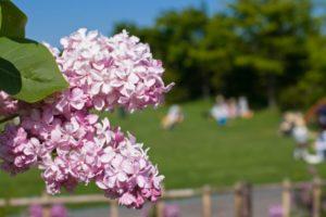 北海道札幌市の川下公園に咲くライラックの花