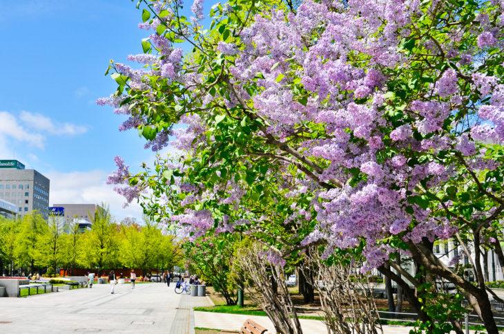 北海道札幌市の大通公園でライラックの花とテレビ塔が入った写真