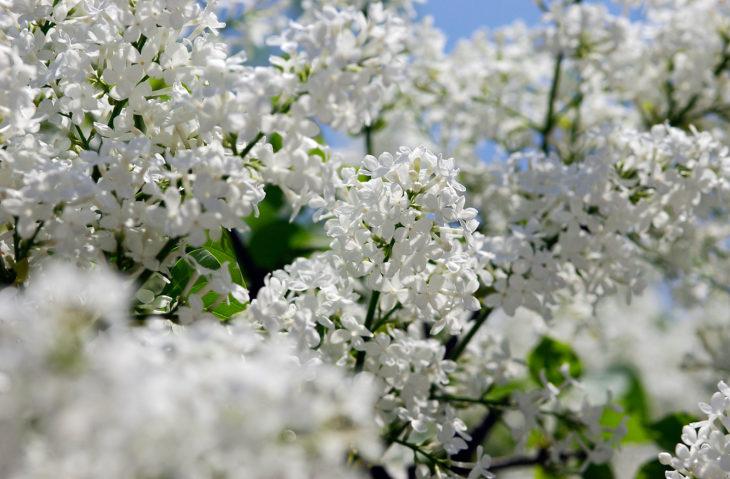北海道札幌市のシンボル、ライラックの花